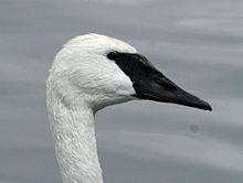 Swan Cam